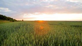 Panorama de campos de trigo no por do sol O feixe do ` s do sol brilha na lente Campo bonito do trigo verde filme