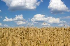 Panorama de champ d'agriculture de seigle sous le ciel bleu photos libres de droits