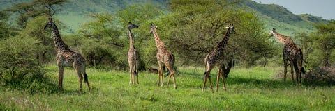 Panorama de cinco arbustos de la ojeada de la jirafa del Masai Foto de archivo libre de regalías