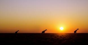 Panorama de girafe photographie stock libre de droits