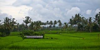 Panorama de gisement de riz Photo stock