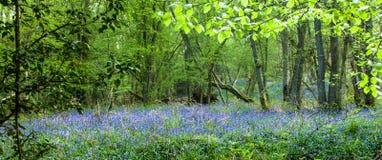 Panorama de jacinthe des bois Photographie stock