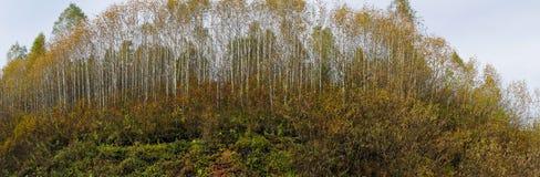 Panorama de la arboleda del abedul del otoño Imagenes de archivo