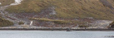 Panorama de la bahía de la ballena derecha y millares de pingüinos de rey Foto de archivo