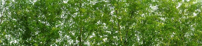 Panorama de la corona de árboles en el bosque de la primavera Fotos de archivo libres de regalías