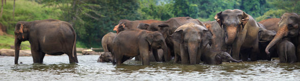 Panorama de la manada del elefante en agua Fotografía de archivo libre de regalías