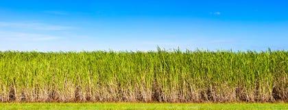 Panorama de la plantación de la caña de azúcar Imagen de archivo