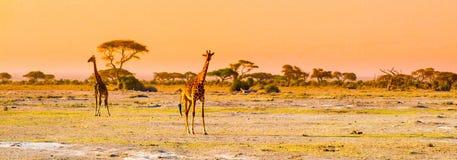 Panorama de la tarde de la sabana con las jirafas, parque nacional de Amboseli, Kenia, África imágenes de archivo libres de regalías