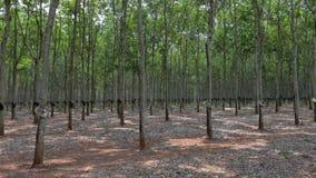 Panorama de las plantaciones de goma en Vietnam almacen de metraje de vídeo