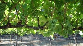 Panorama de las uvas de vino metrajes