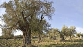 Panorama de los árboles de aceitunas Imágenes de archivo libres de regalías