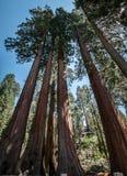 Panorama de los árboles de la secoya Imágenes de archivo libres de regalías