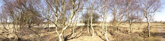 Panorama de los bomen de Berken de los árboles de abedul Fotografía de archivo