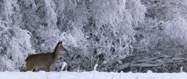 Panorama de los ciervos de huevas en invierno Imagen de archivo libre de regalías