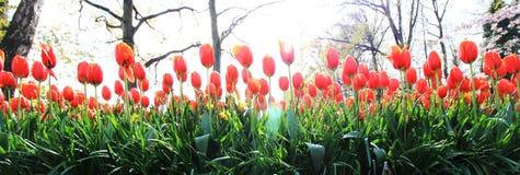 Panorama de los tulipanes de la naranja rojiza Imagen de archivo libre de regalías
