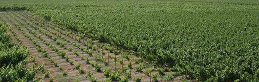 Panorama de los viñedos foto de archivo