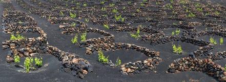 Panorama de los viñedos famosos del La Geria en suelo volcánico en Lanzarote, islas Canarias, España Foto de archivo