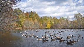 Panorama de muitos patos fotografia de stock royalty free