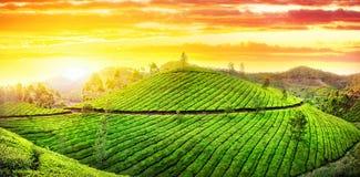 Panorama de plantations de thé Photographie stock libre de droits