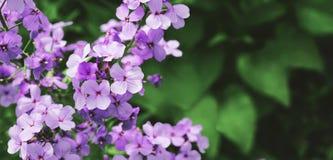 Panorama de polemonios florales Fotografía de archivo libre de regalías