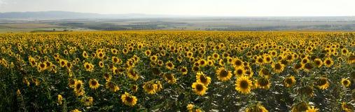 Panorama de pré de tournesols d'agriculture Images stock
