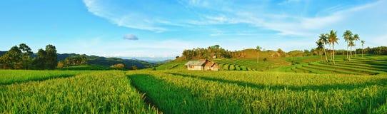 Panorama de riz non-décortiqué Photo libre de droits