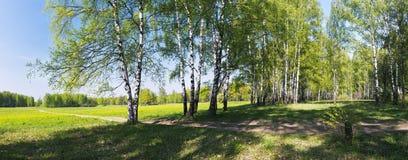 Panorama de ruelle de bouleaux Image stock