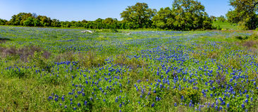 Panorama de Texas Field de stupéfier Texas Bluebonnets photographie stock