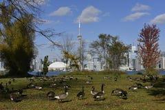 Panorama de Toronto, Canada, d'île par les arbres et les oies dans l'avant images libres de droits