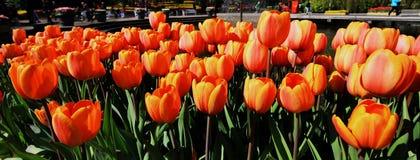 Panorama de tulipanes anaranjados Imagen de archivo