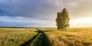 Panorama de um campo rural com trigo, um vidoeiro só e uma estrada de terra no por do sol, Rússia Imagens de Stock