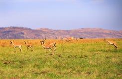Panorama de um rebanho da impala que salta e que corre Fotos de Stock Royalty Free