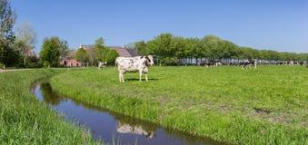Panorama de uma exploração agrícola e de umas vacas holandesas em Groningen Imagem de Stock Royalty Free