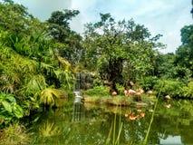 Panorama de un grupo de flamencos en la selva Foto de archivo libre de regalías