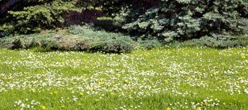 Panorama de un prado verde con las flores blancas, ramas azules de la picea en la distancia foto de archivo libre de regalías