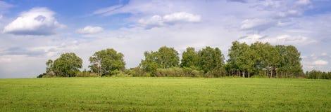 Panorama de una arboleda del abedul en el campo, Rusia Fotos de archivo libres de regalías