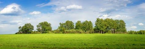 Panorama de una arboleda del abedul en el campo, Rusia Imagen de archivo