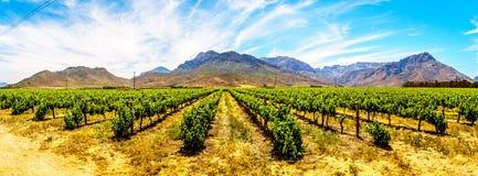 Panorama de viñedos y de montañas circundantes en primavera en la región del vino de Boland del Western Cape fotos de archivo libres de regalías