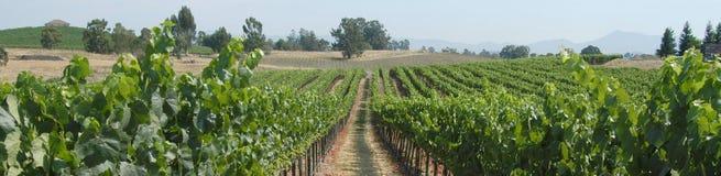 Panorama de vignes Image stock