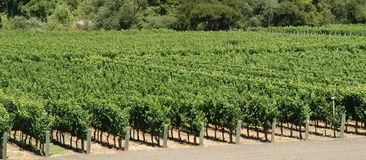 Panorama de vignes photographie stock