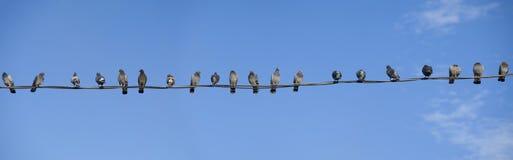 Panorama de vingt pigeons Photographie stock libre de droits