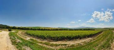 Panorama de Vinyard Imagen de archivo libre de regalías