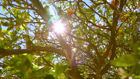 Panorama 360 degree of orange trees. stock video footage