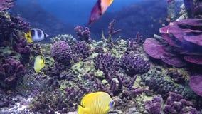 Panorama dei fondali marini dell'acquario, dei pesci tropicali decorativi, dei coralli Vita marina archivi video