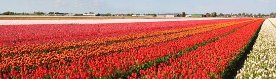 Panorama dei giacimenti di fiore Fotografia Stock