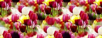 Panorama dei tulipani Fotografia Stock