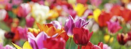 Panorama dei tulipani multicolori Immagini Stock Libere da Diritti