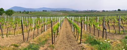Panorama dei wineyards in primavera fotografie stock