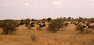 Panorama del búfalo Fotos de archivo libres de regalías