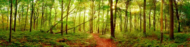 Panorama del bosque con el sol brillante foto de archivo libre de regalías